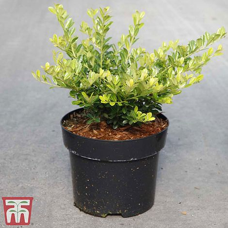 Ilex Crenata Golden Gem Thompson Morgan