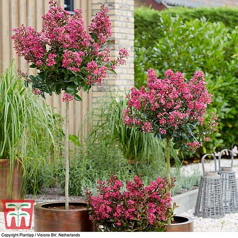 Hanging Basket Berry Fruit Garden Plants 2 x 9cm Potted Hardy Shrub T/&M