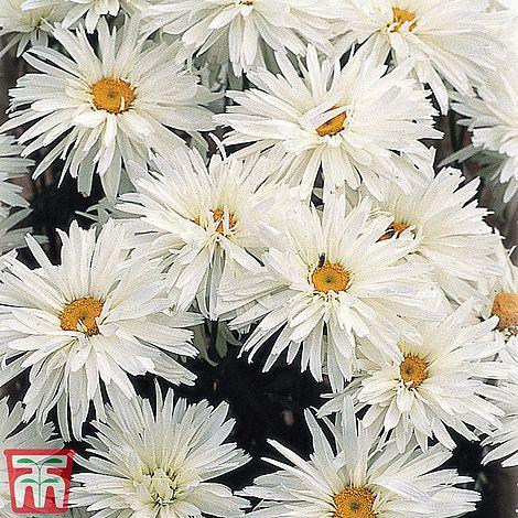 Shasta Daisy 'Crazy Daisy'Leucanthemum x superbumChrysanthemum maximum