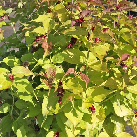 Leycesteria Formosa Golden Lantern