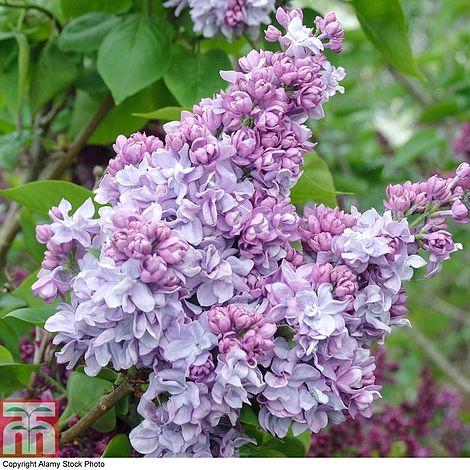 Lilac Katherine Havemeyer Plants Thompson Amp Morgan