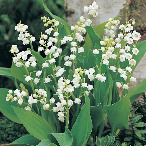 Lily Of The Valley White Thompson Morgan