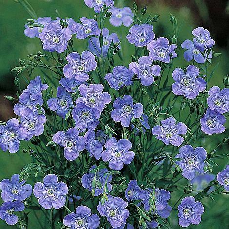 linum grandiflorum blue dress thompson amp morgan