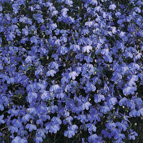 Lobelia Erinus Blue Cascade