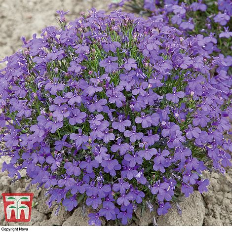 Lobelia Erinus Crystal Palace Seeds Thompson Morgan