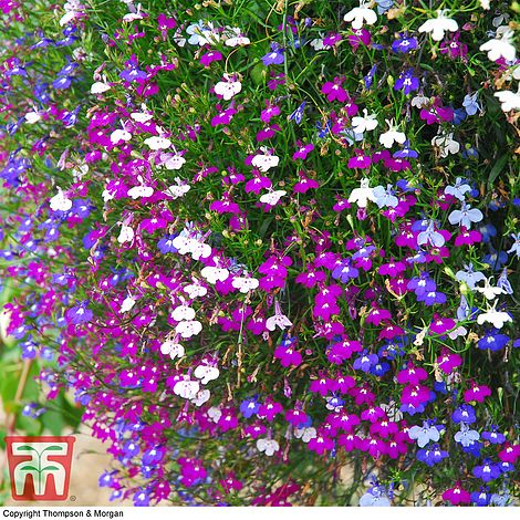Lobelia Erinus Ultra Cascade Mixed Plug Plants Thompson Morgan
