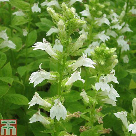Lobelia Siphilitica F Albiflora Alba Marginal Aquatic Plants