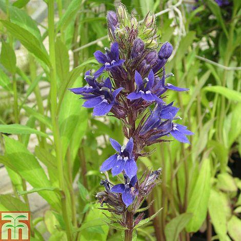 Lobelia X Speciosa Vedrariensis Marginal Aquatic Plants