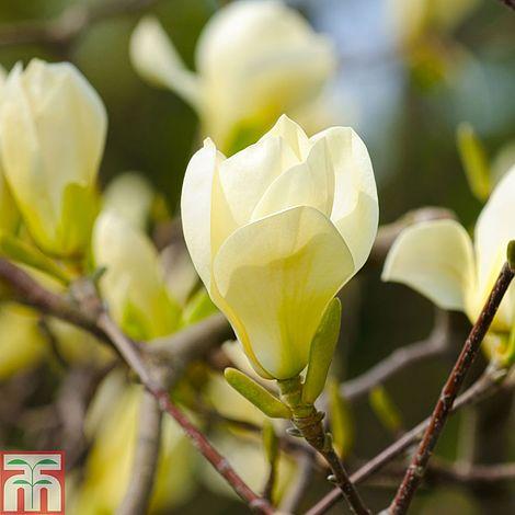 Magnolia denudata yellow river thompson morgan mightylinksfo Gallery