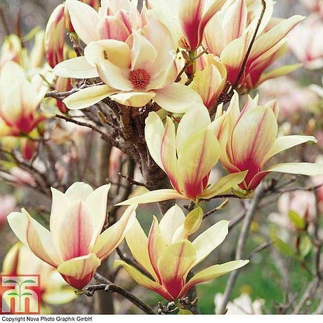 Magnolia Denudata Sunrise Patio Standard Thompson Morgan