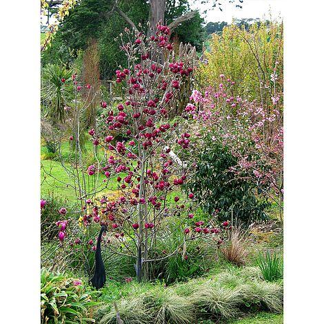 Magnolia Genie Plants Thompson Morgan