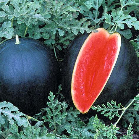 Image result for blacktail mountain watermelon