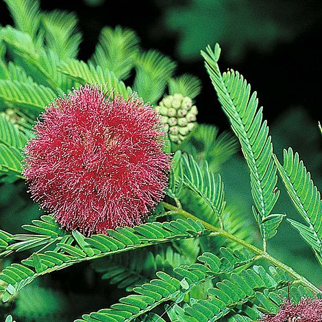 Mimosa pudicaSensitive Plant
