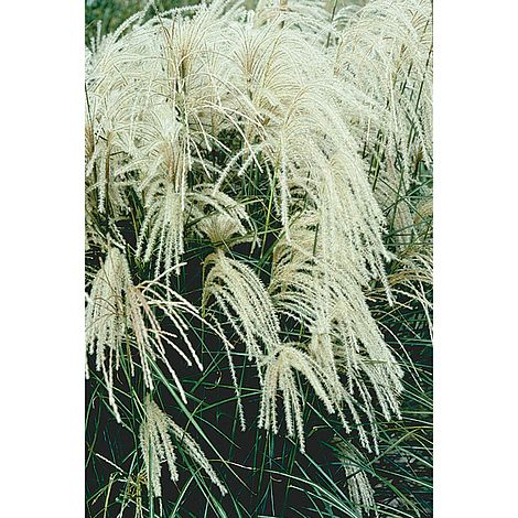miscanthus sinensis 39 kleine silberspinne 39 plants. Black Bedroom Furniture Sets. Home Design Ideas