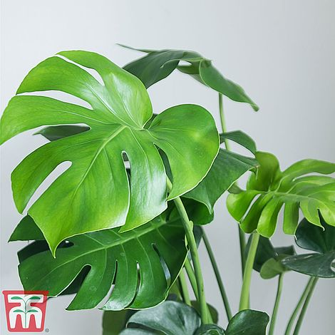 Monstera deliciosa (House Plant)Swiss Cheese Plant on
