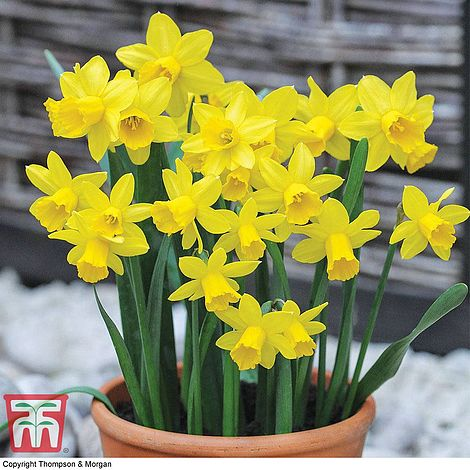 More Interesting Than Food Narcissus >> Narcissus Tete A Tete