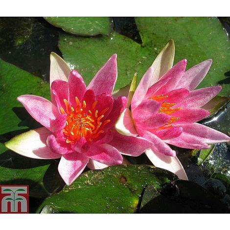 Nymphaea 39 pygmaea rubra 39 deep water aquatic plants for Deep pond plants