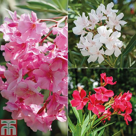 Oleander plants thompson morgan mightylinksfo
