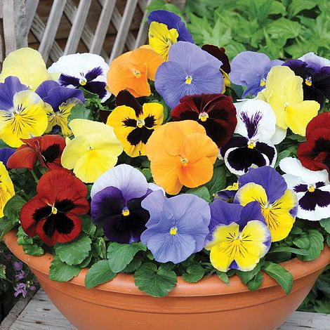 Pansy 39 most scented mix 39 plug plants thompson morgan for Planta perenne en maceta de invierno