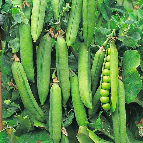 pea rondo maincrop seeds thompson morgan