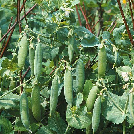 Pea Kelvedon Wonder x 100 Seeds