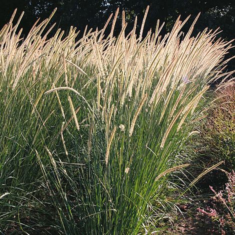 Pennisetum Macrourum Tail Feathers Seeds Thompson Amp Morgan