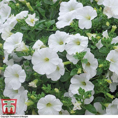 4 X Trailing Petunias SURFINA White Plug Plants