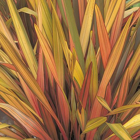 Phormium Rainbow Striped Hybrids Thompson Amp Morgan