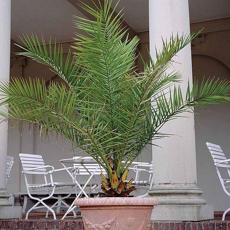 Phoenix palm thompson morgan - Zimmerpalme arten ...