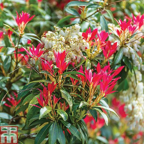 Pieris japonicaLily of the Valley Bush
