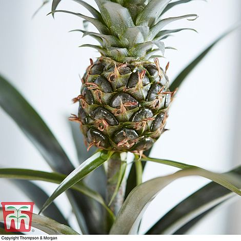 Ananas Pineapple Champaca 14\u00d8 50cm House Plant