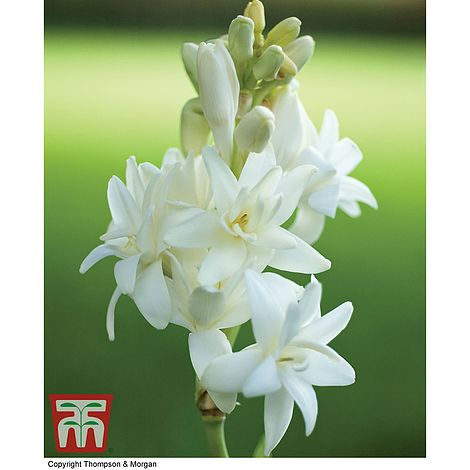 The Pearl Lily Hardy Bonsai Perennial Double Polianthes Fragrance Tuberose Bulb