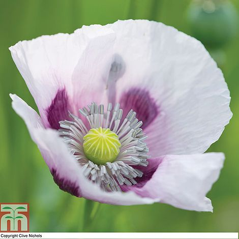 Poppy Album Seeds Thompson Morgan