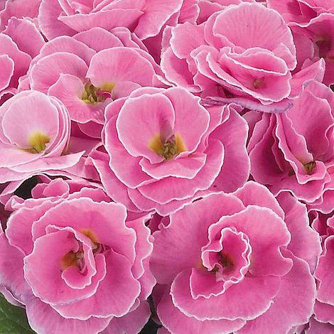 Primrose Palazzo Pink Plug Plants Thompson Morgan