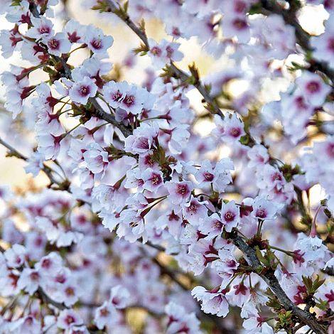 Cherry Kojo No Mai Prunus Incisaornamental