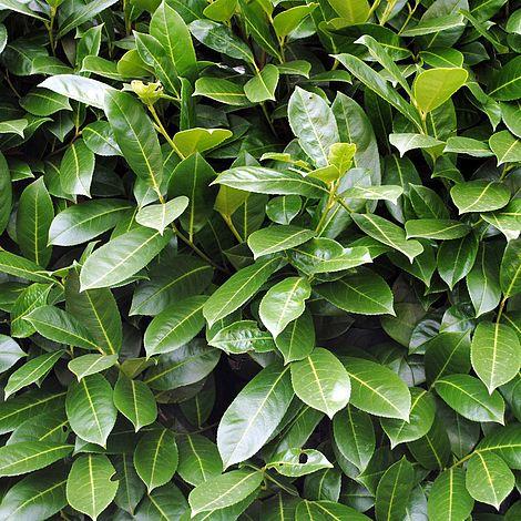 prunus laurocerasus 39 etna 39 plants thompson morgan. Black Bedroom Furniture Sets. Home Design Ideas