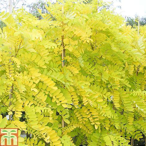Robinia Frisia Tree Garden Design Ideas
