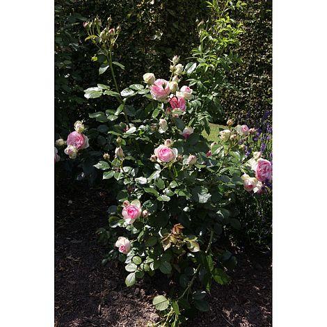 Rose Eden Rose 88 Thompson Morgan