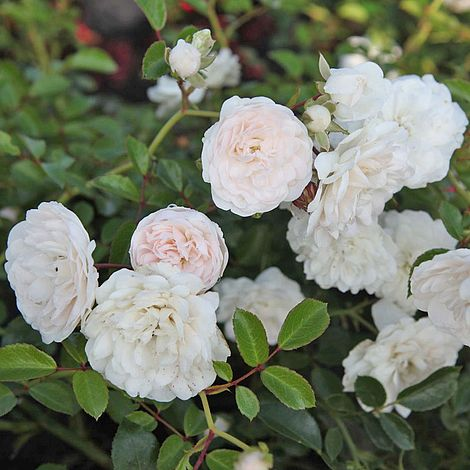 Rose Sea Foam Shrub Rose Plants Thompson Amp Morgan