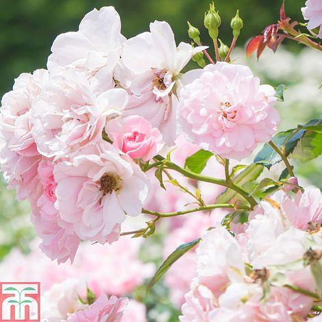 Ramblin rose squash blossom
