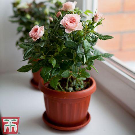 Rose Clic Miniature House Plant Rosa