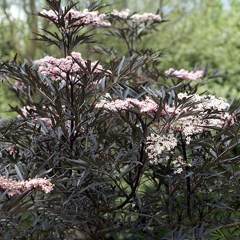 sambucus nigra f porphyrophylla 39 black lace 39 plants. Black Bedroom Furniture Sets. Home Design Ideas