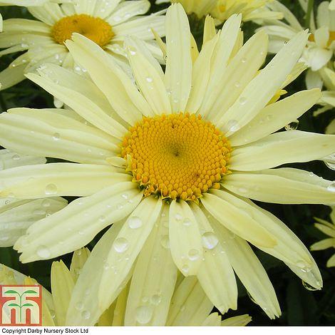 Shasta Daisy Banana Cream Leucanthemum X Superchrysanthemum Maximum