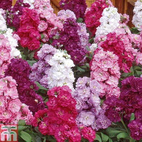 Stock 'Most Scented Mix'Matthiola incanaGillyflower