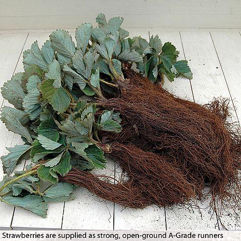 30 x STRAWBERRY PLANTS EARLY SEASON SWEETHEART