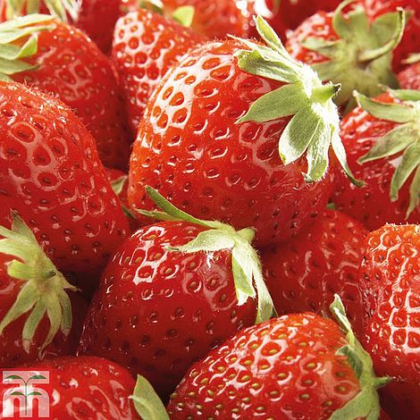 Strawberry Mara Des Bois Fragaria X Anana