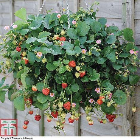 Strawberry just add cream plug plants thompson morgan previous mightylinksfo