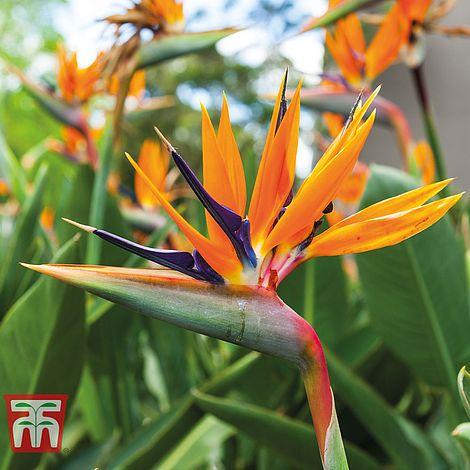 strelitzia bird of paradise plants thompson morgan