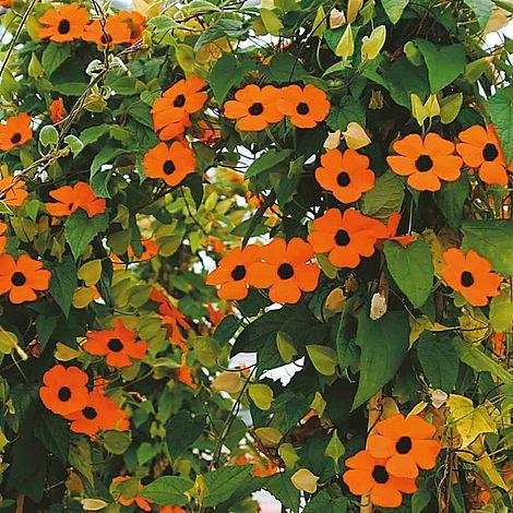 Thunbergia Alata Superstar Orange Seeds Thompson Amp Morgan