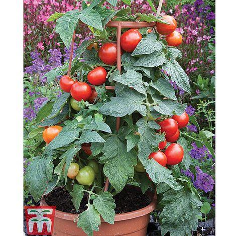Tomato 'Divinity' F1 hybridSolanum lycopersicum L